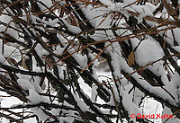"""1229-07pp  Camouflaged Black-capped Chickadee """"In Winter on Bush"""" - Parus atricapillus © David Kuhn"""
