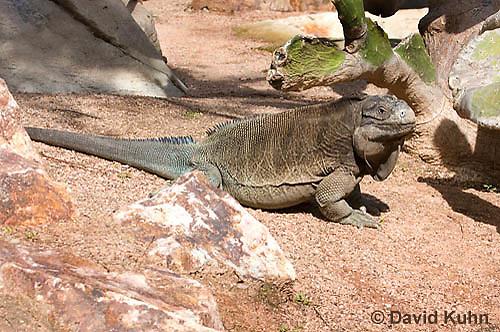 0628-1106  Anegada Ground Iguana (Stout Iguana), Cyclura pinguis  © David Kuhn/Dwight Kuhn Photography