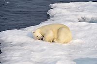 Polar Bear (Ursus maritimus), adult, sleeping on ice floe, Baffin Island, Nunavut, Canada, North America