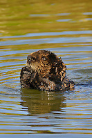 Sea Otter (Enhydra lutris) pup--roughly 3 to 4 months old.