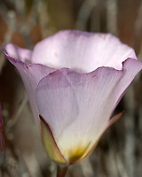Mariposa Lily, Death Valley