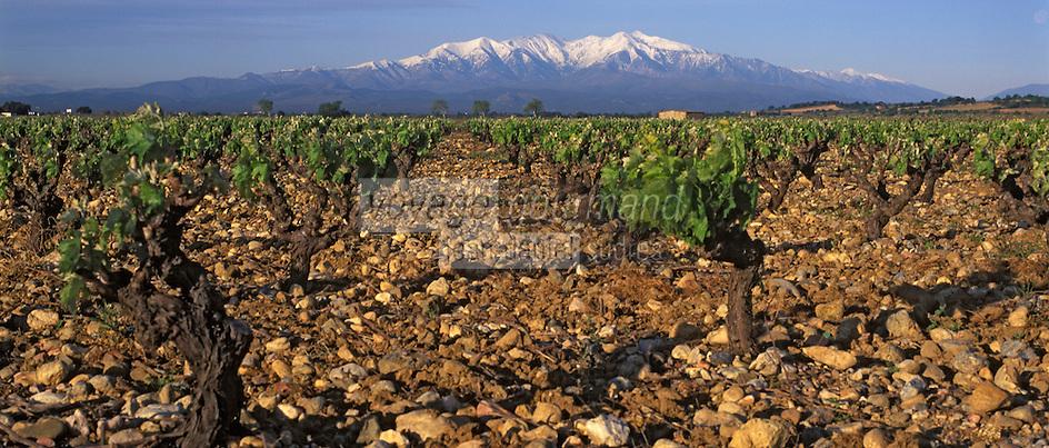 Europe/France/Languedoc-Rousillon/66/Pyrénées-Orientales/Salses: le vignoble AOC Cotes du Roussillon et le Mont Canigou enneigé en fond