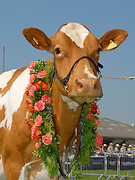 The Guernsey champion, Laity Farm Primrose 96 from D. W.,  R. J. and J. R. Warren.