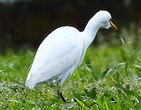 Great Cattle Egret