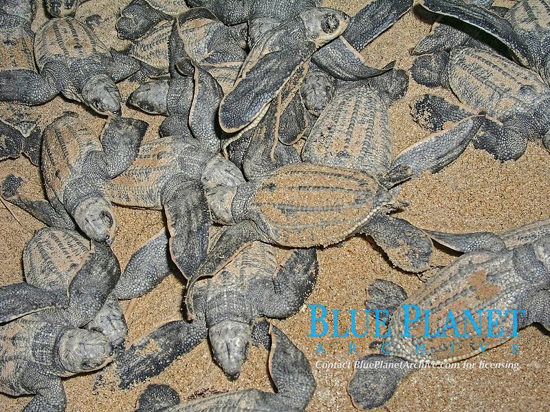 leatherback sea turtle hatchlings, Dermochelys coriacea, in nest, Dominica, Caribbean, Atlantic Ocean