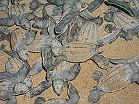 leatherback sea turtle hatchlings, Dermochelys coriacea, in nest, Dominica, Caribbean, Atlantic Ocean