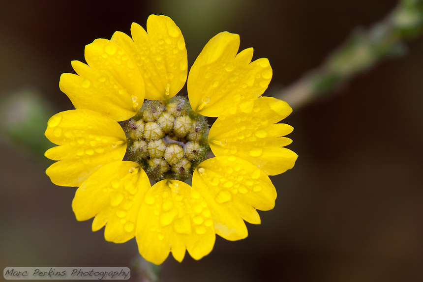 This yellow Asteraceae flower is a composite flower (capitulum)consisting of multiple individual flowers attached to the same base.  Here the flowers on the outside of the composite flower (the ray florets) are open, but the inner flowers (the disk florets) are still closed.  The ray florets fuse their petals into one giant lobe.  See the next picture to see the same plant's flower with the disk florets open.  This is most likely one of the several species of tarplant, possibly _Deinandra_.