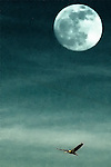 creative image of a sanhill crane flying past a full moon in Bosque del Apache National Wildlife Refuge, New Mexico