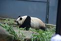 Giant panda Xiang Xiang
