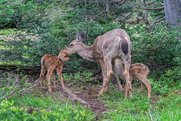 Columbian black-tailed deer (Odocoileus hemionus columbianus) doe with twin fawns.  Pacific Northwest.  Summer.