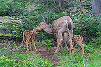 Columbian black-tailed deer (Odocoileus hemionus columbianus) doe with twin fawns.  Pacific Northwest.  Summer.
