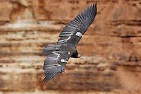California Condor (Gymnogyps californianus) flying along canyon walls, Marble Canyon (Colorado River), Grand Canyon National Park, Arizona.