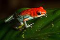 Granular Poison Frog {Oophaga granulifera}Osa Peninsula, Costa Rica. May. 'Vulnerable' IUCN Red List species.