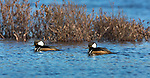 Male hooded mergansers swimming in a northern Wisconsin lake.