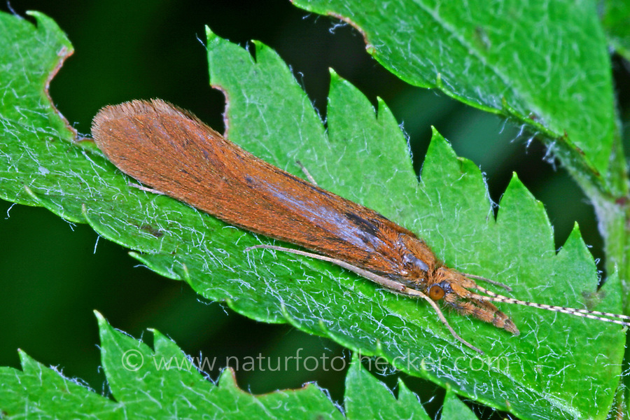 Köcherfliege, Langfühler-Köcherfliege, Mystacides spec., Köcherfliegen, caddisfly, sedge-fly, rail-fly, caddisflies, sedge-flies, rail-flies, Trichoptera
