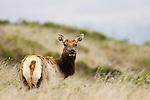 Tule Elk (Cervus elaphus nannodes) female in grassland, Point Reyes National Seashore, California