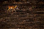 Impala (Aepyceros melampus) female in burned savanna, Kafue National Park, Zambia
