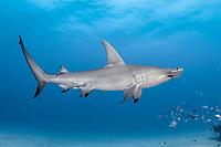 great hammerhead shark, Sphyrna mokarran, swimming over shallow sandy bottom, offshore, Jupiter, Florida, USA, Atlantic Ocean