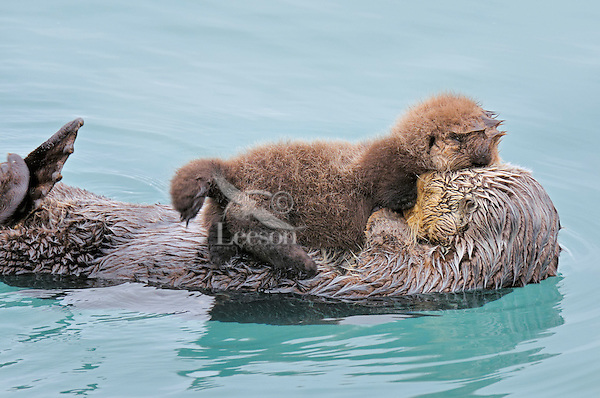 Alaskan or Northern Sea Otter (Enhydra lutris) mom with young pup rest in a sheltered cove.  Alaska.
