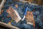 Zinfandel grape harvest at Joe Aparicio's zinfandel grape vineyard on Sutter Ridge in fall