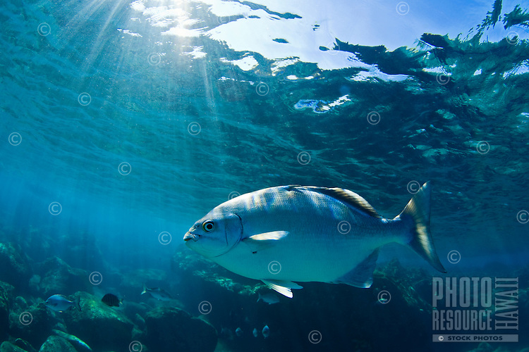 A Sea Chub comes in close looking for a handout in Makuleia Bay, Maui a Natural Reserve area.