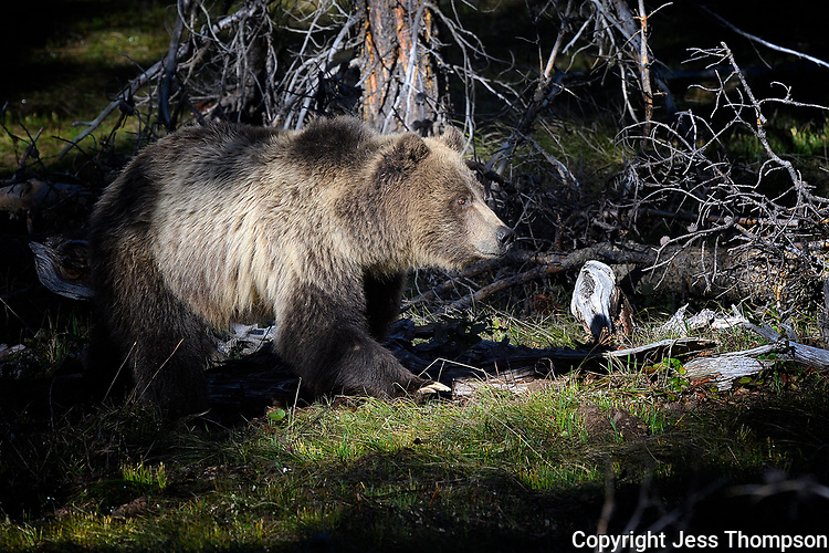 Grizzly Bear in Grand Tetons