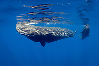 sperm whales, Physeter macrocephalus, female babysitter and calf, Endangered Species, Commonwealth of Dominica (Caribbean Sea)