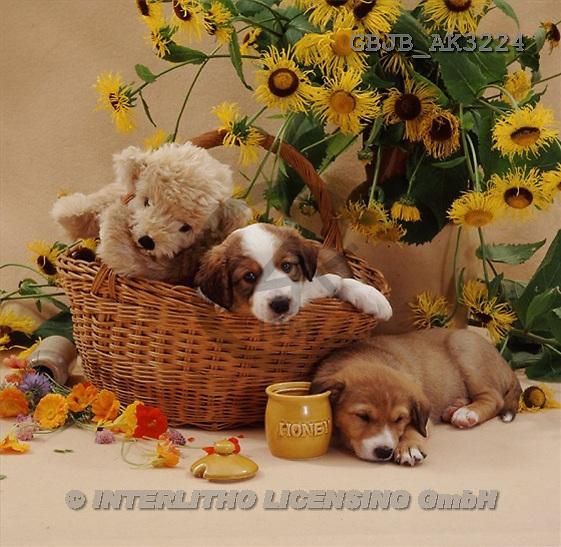 Kim, ANIMALS, dogs, photos(GBJBAK3224,#A#) Hunde, perros