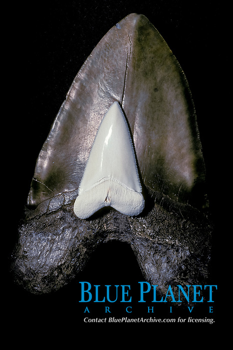 fossil tooth of megalodon, Carcharocles megalodon, an extinct species of shark, contrasted with tooth of great white shark, Carcharocles carcharias