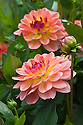 Dahlia 'Erna Panzer', mid August. Awarded RHS AGM in 2010.