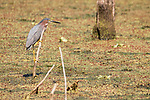 Damon, Texas; a green heron perched on a stick emerging from the slough in morning light
