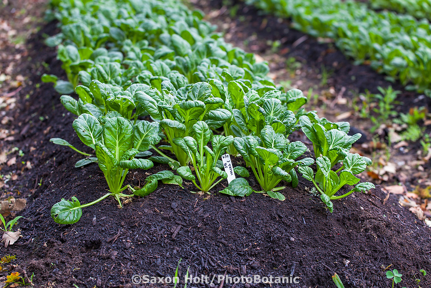 No-till vegetable row with top dressing to soil of compost for bok choy, Singing Frogs Farm, no-till farming