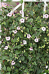 Black-eyed Susan vine, Thunbergia alata 'Raspberry Smoothie'