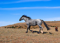 Blue Roan with black mane and tail flying trots across the plain.