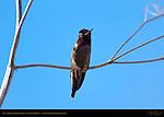 Anna's Hummingbird Male, Color Display, Sepulveda Wildlife Refuge, Southern California