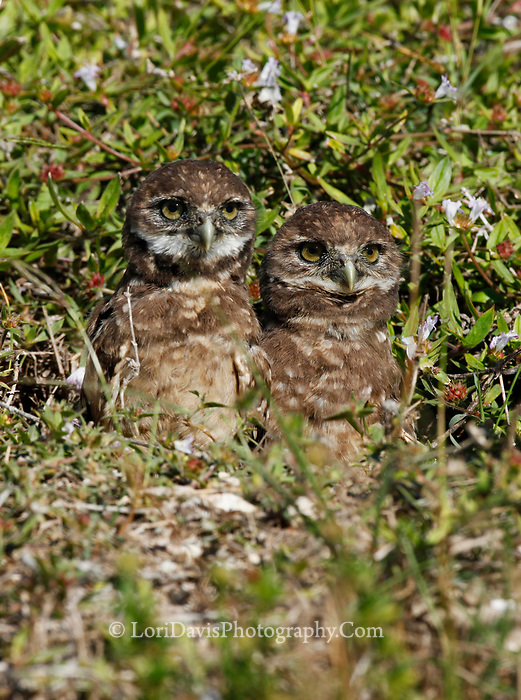 Burrowing owlets peaking from den