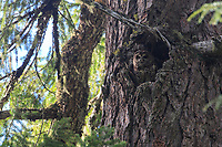 Adult female Spotted Owl (Dtrix occidentalis) standing in a cavity nest in an old growth douglas fir. Willamette National Forest, Oregon. June.