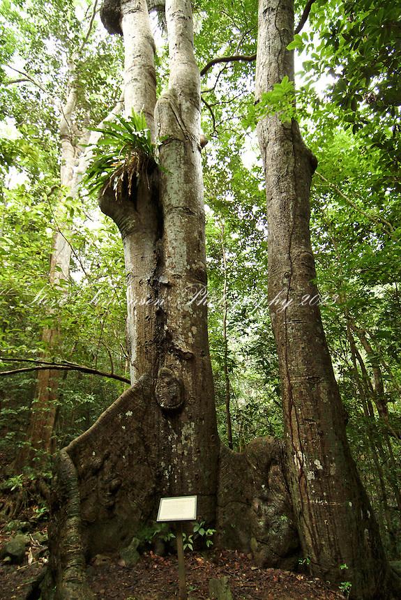 Kapok Tree along the Reef Bay Trail<br /> St John<br /> Virgin Islands National Park