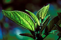 Native mamaki plant whose leaves are used for medicinal tea