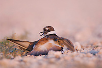 Killdeer, Charadrius vociferus, adult pretending to have a broken wing to lure predators away from nest, distraction display, Willacy County, Rio Grande Valley, Texas, USA, June 2006
