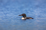 Common loon swimming in a norhern Wisconsin lake.