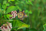 Monarch butterflies mating on a common milkweed plant.