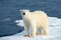polar bear, Ursus maritimus, adult, male, on drift ice, Baffin Island, Nunavut, Canada, Arctic Ocean