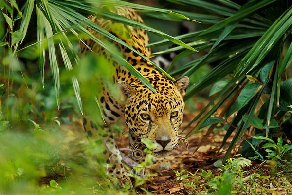 Jaguar in Central American tropical rainforest.