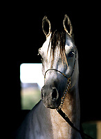 Jimmy FHP Don El Chall *WH Northelei Joy by Northelei; Cavalo de raça árabe.<br />Haras El Shadday, proprietário: Fernando Abreu<br />Chã Grande-Pernambuco-Brasil<br />©Foto: Paulo Santos/ Interfoto<br />03/2003<br />Cromo Cor 120