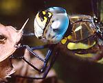 Aeshna juncea dragonfly