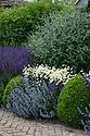 Mixed herbaceous border containing Anthemis tinctoria 'E.C. Buxton', Salvia nemorosa 'Ostfriesland', Nepeta,  Buddleia and clipped Box balls, Town Place, late June.