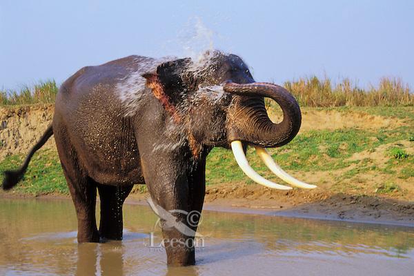 Asian elephant or Indian elephant (Elephas maximus) bathing, India