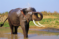 Asian elephant or Indian elephant (Elephas maximus) bathing, India