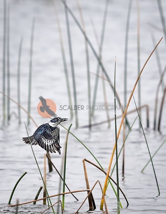 Belted Kingfisher flying out of water after catching a fish with fish in beak